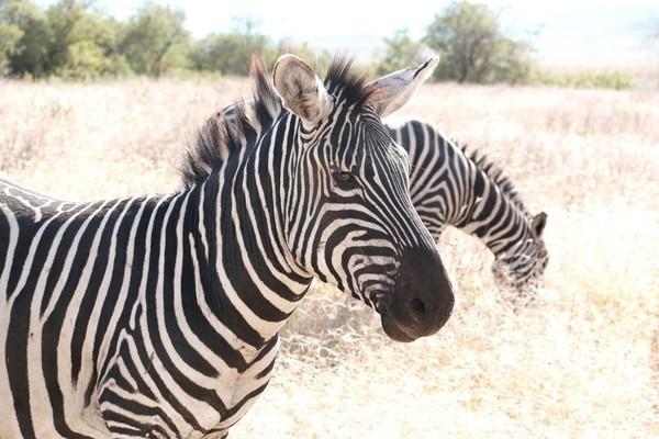 zebres-tanzanie